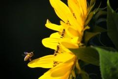 Bienen und Hummel