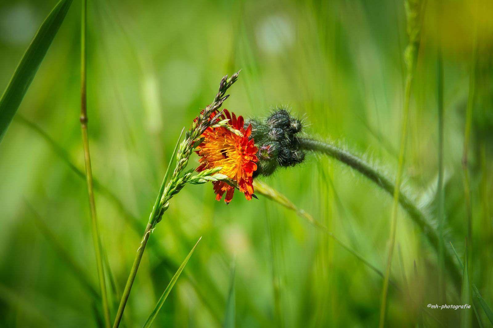 Blumen-DSC_4954-mh-photografie