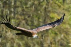 Greifvögel, Adler und Co
