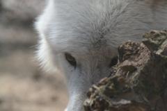 Polarwölfe