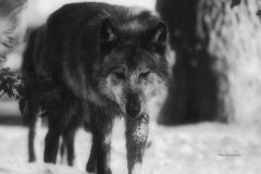 Timberwolf-©mh-photografie-DSC_6284
