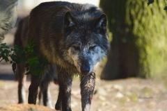 Timberwolf-©mh-photografie-DSC_6284a