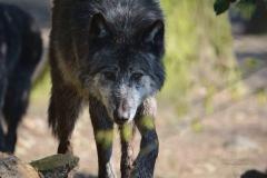 Timberwolf-©mh-photografie-DSC_6286